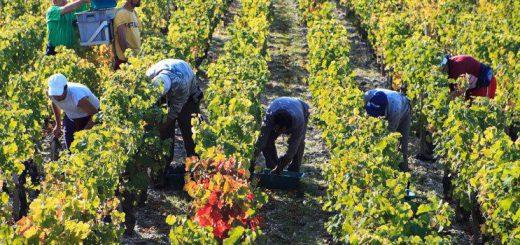 Les vendanges【ワインに欠かせない仕事】