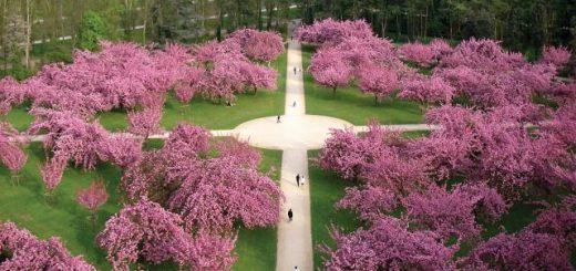 Faire le Hanami en France, où y a-t-il des fleurs de cerisier?【フランスで花見をするなら?】